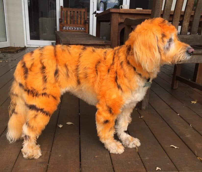 Hair dye for dogs – is it safe for our pets?