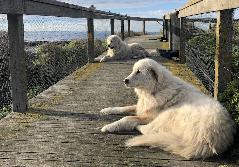 Why Maremma Sheepdogs are not for suburbia