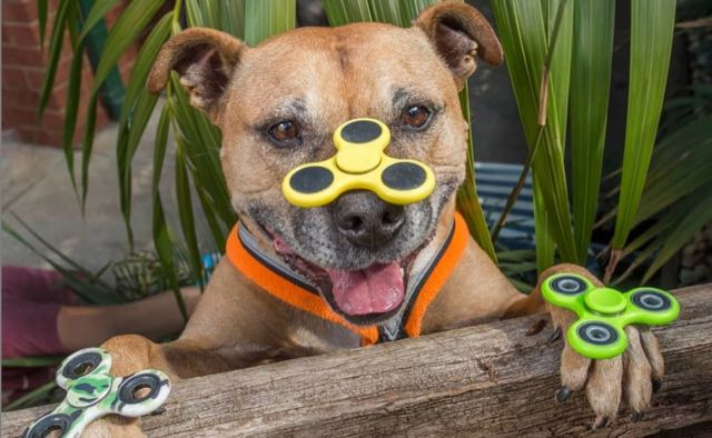 Training tips for a Staffordshire Bull Terrier – English Staffy